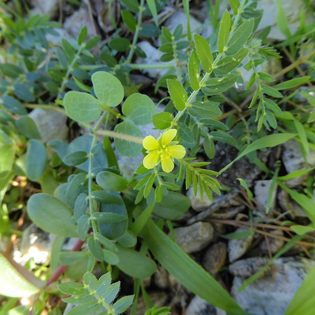 Tribulus Terrestris L Family Zygophyllaceae Spain Mallor Flickr By Peter M Greenwood