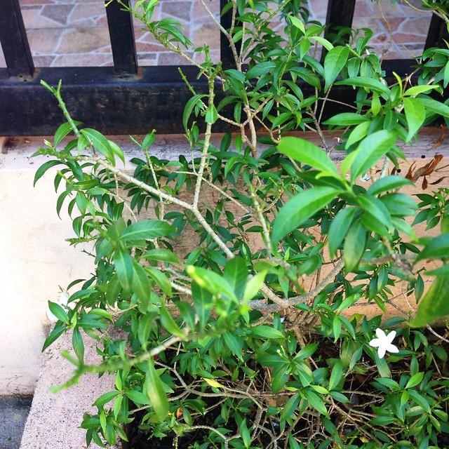 pandakaki plant