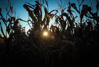 Cornfield | by jfwphoto