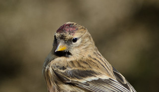Lesser Redpoll | by markhows