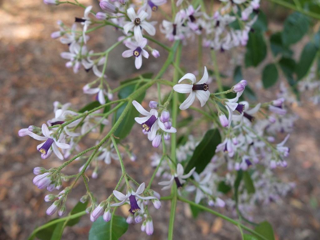 White cedar flowers flowers of white cedar melia azedara flickr white cedar flowers by igomak mightylinksfo Gallery