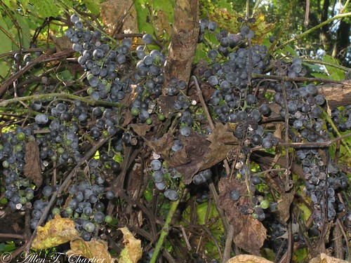 Vitis riparia (Riverine Grape)