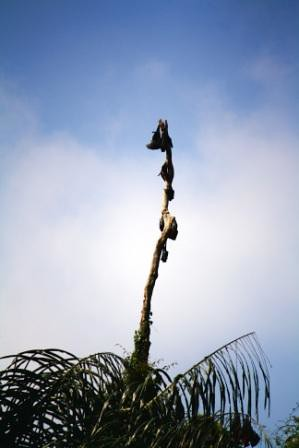 Pohon kalong di Situ Lengkong Panjalu.