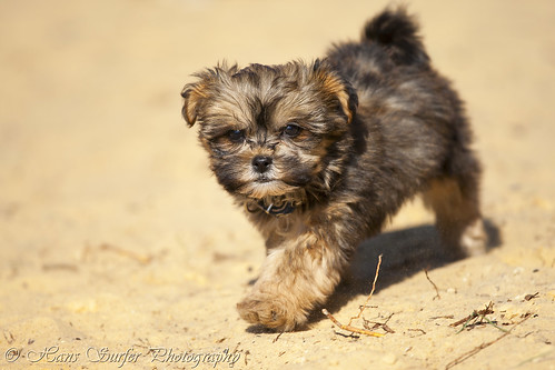 A Shih Tzu/Malthese puppy of 8 weeks! | by Hans Surfer (where the action is)
