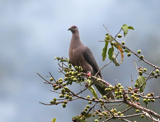 Ring-tailed Pigeon (Patagioenas caribaea), Silver Hill Gap, Saint Andrew Parish, Jamaica 4/15/14 | by abcdefgewing