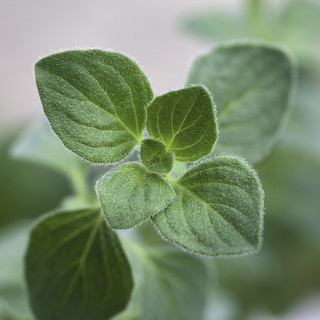 Oregano | by aldenchadwick