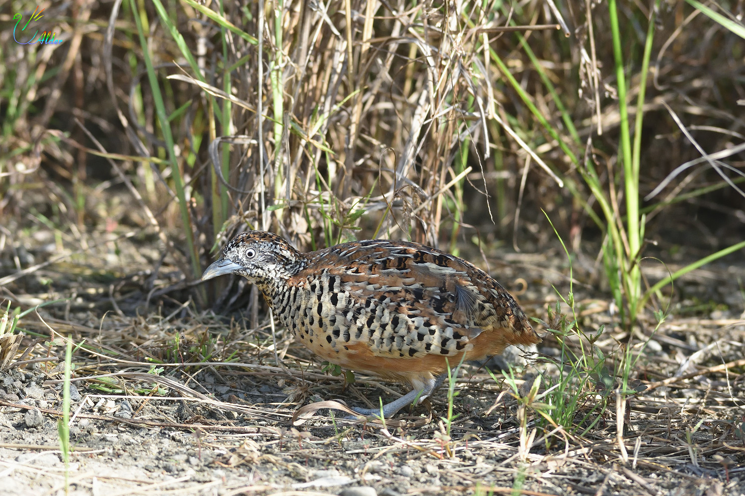 Barred_Buttonquail_2570