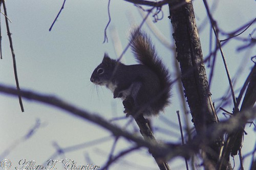 Tamiasciurus hudsonicus (Red Squirrel)