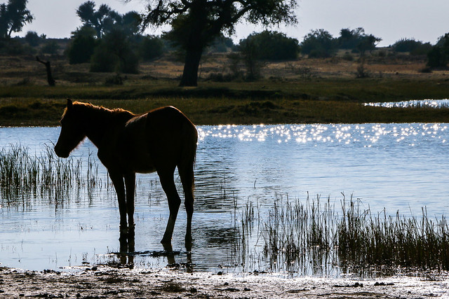 A horse in a pond on the way from Jaisalmer to Khuri, India ジャイサルメールからの砂漠ツアー途中で寄った池