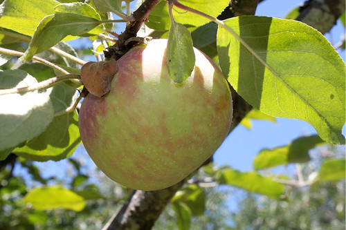 Gravenstein Apples | by Farm Fresh To You -