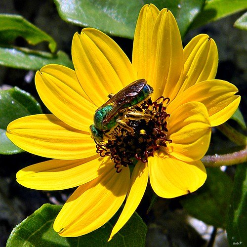 Dune Sunflower & Green Bee | by bob in swamp