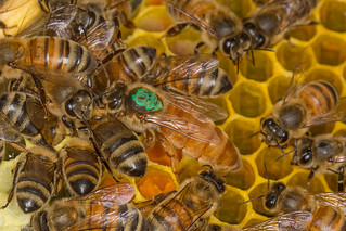 Apis mellifera, European Honey Bee, The Queen | by David Illig