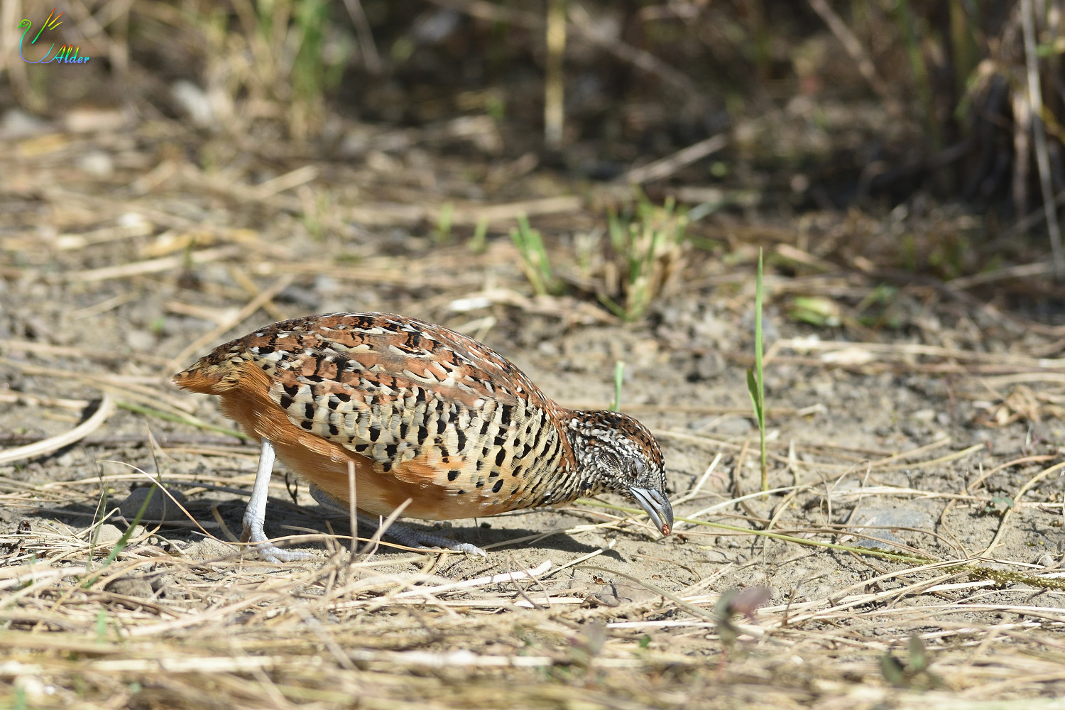 Barred_Buttonquail_2618