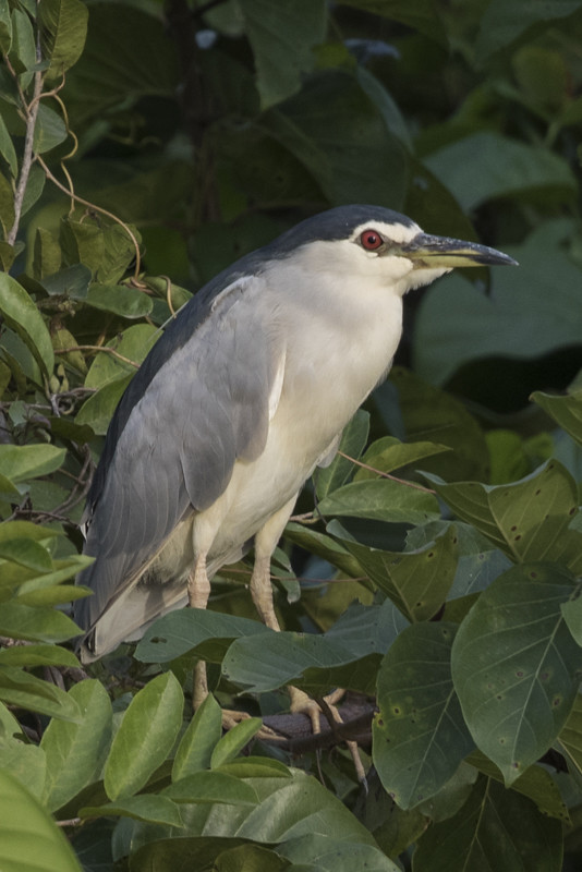 Black-crowned Night Heron   Gambia 2016