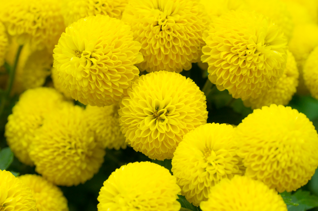 Chrysanthemum Balls Some Odd Ball Chrysanthemums That Are Flickr