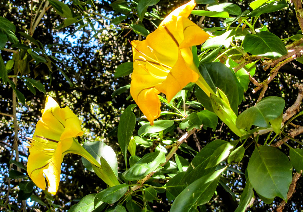 Large yellow flowers the adelaide botanic gardens on a wal flickr large yellow flowers by jocey k mightylinksfo