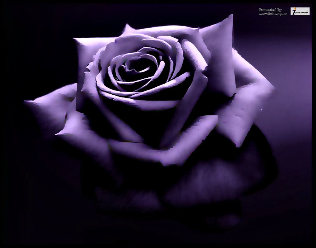 Sweet Purple Rose Flower Wallpaper