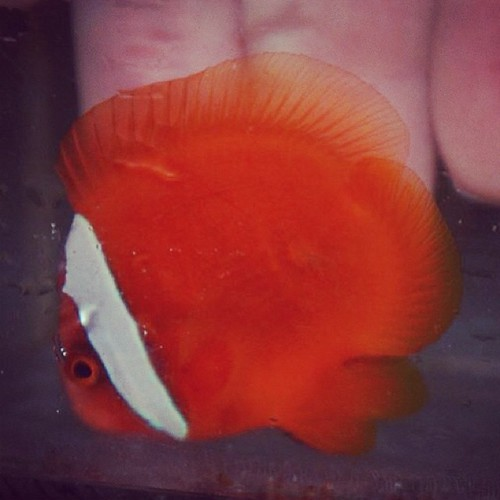 It S A Clownfish It S A Discus It S A Rare Tailless