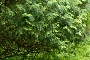 Thuja occidentalis (arborvitae) | by tgpotterfield
