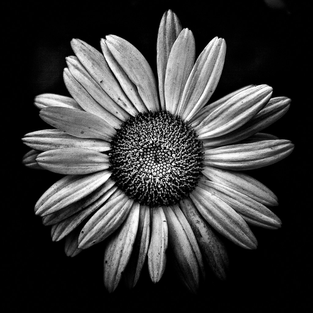 Thelearningcurvedotca backyard flowers in black and white 13 by thelearningcurvedotca