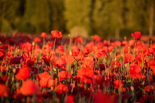 Poppies in the evening light | by Infomastern
