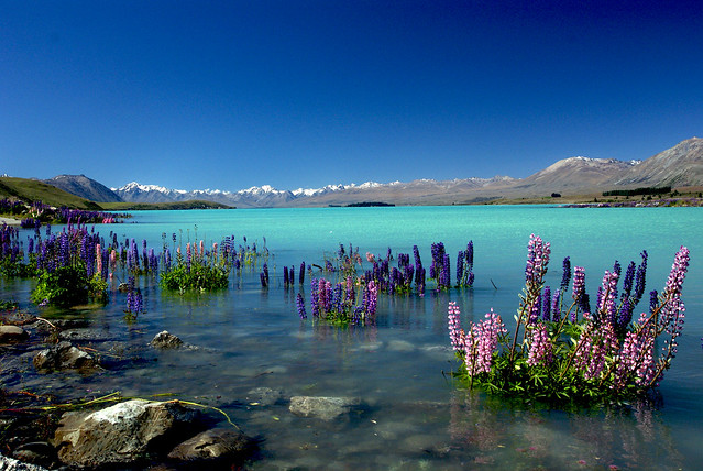 Russell Lupins in Lake Tekapo.NZ
