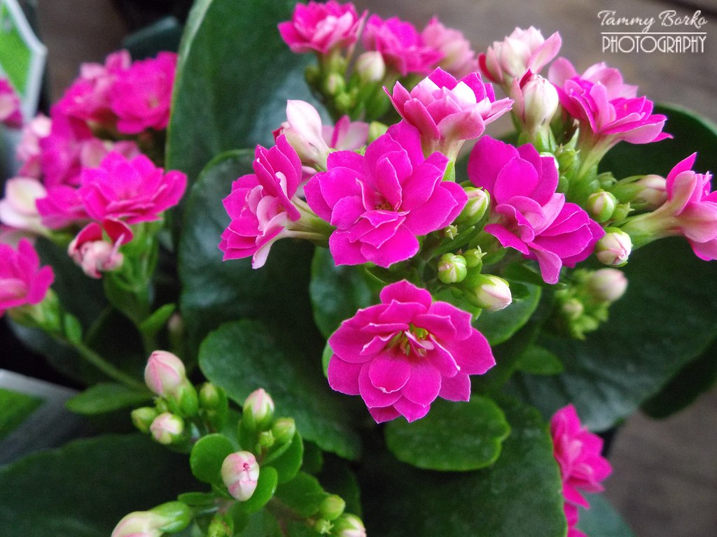 Pink Kalanchoe Flowers | Tammy Borko | Flickr on solanum blooming plant, orchids blooming plant, kalanchoe blooming time, violet blooming plant,