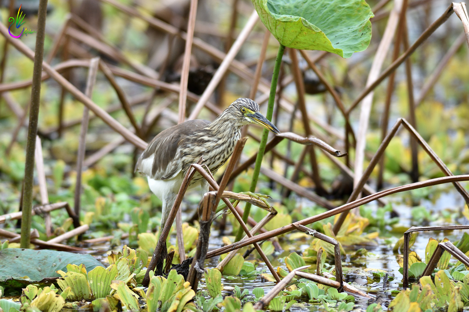 Chinese_Pond_Heron_3154
