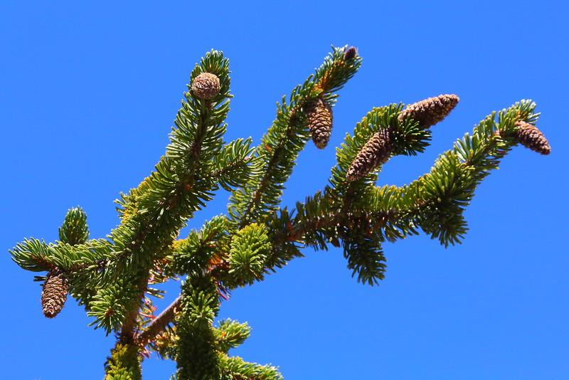 IMG_8235 Bristlecone Pine