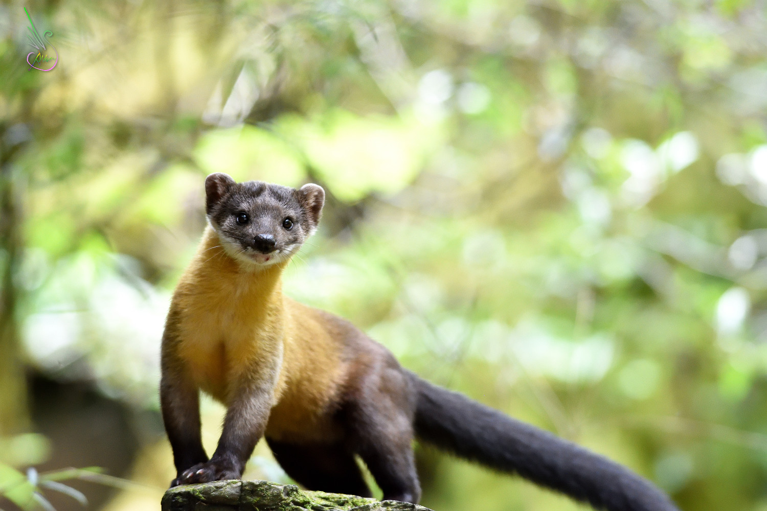 Yellow-throated_Marten_0281