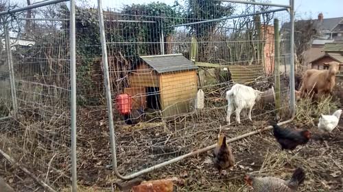 goat paddock Dec 16 (1)