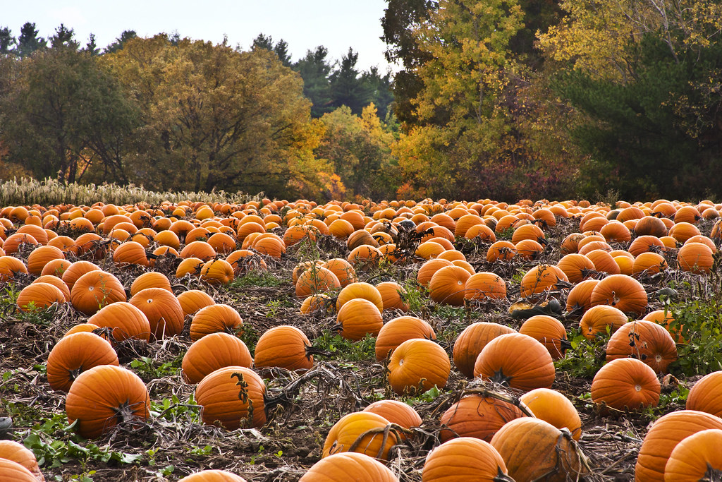 Image result for pumpkin patch