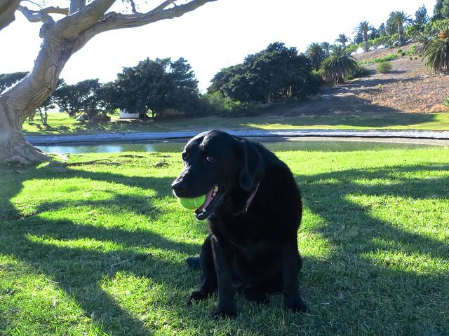 happy 11th birthday Tiny Labrador