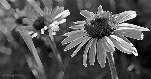 Three Coneflowers | by Happy Autumn Everyone!!!