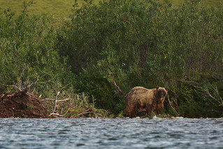 Grizzly Bear on the Anaktuvuk River, North Slope, Alaska | by Paxson Woelber
