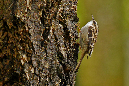 Brown_Creeper_P1400400_edited-1 | by sendtoGandO