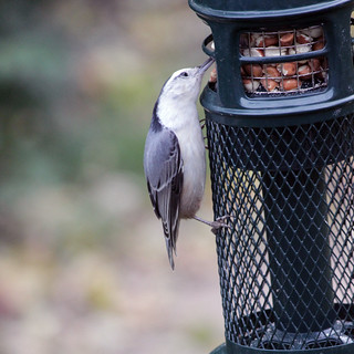 IMG_0798 Nuthatch at Peanut Feeder (square crop) | by rgdaniel