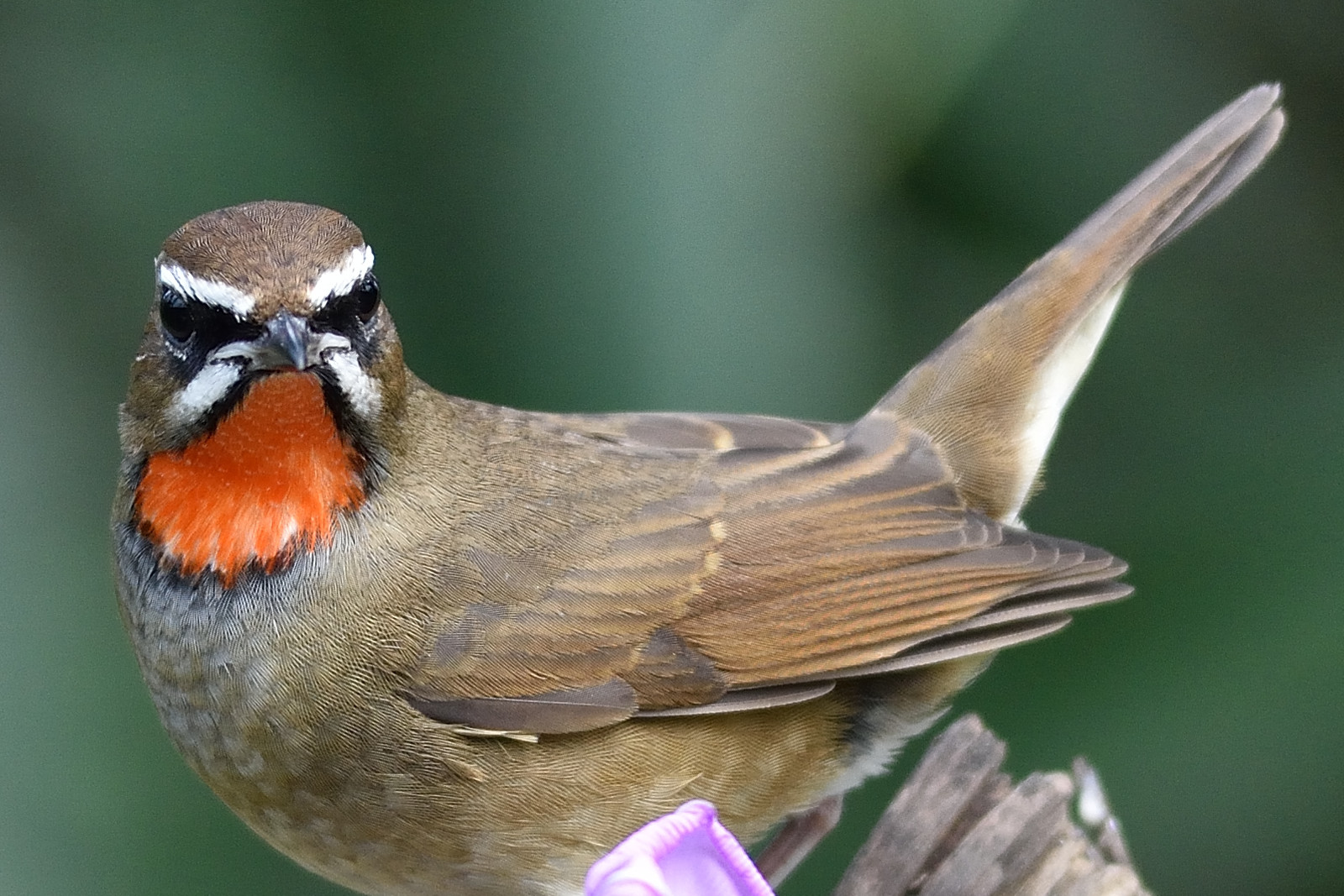 Rubythroat_2737_o
