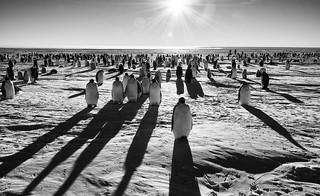 Emperor Penguins | by Christopher.Michel