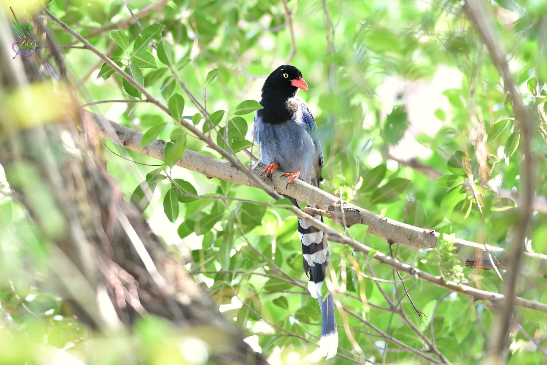 Formosan_Blue_Magpie_4321