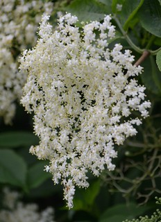 elderflower | by Roger Bunting