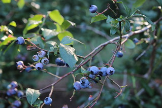 blueberries this year....... | by Gypsy Forest