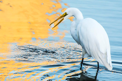 Great Egret Reflections | by ronniegoyette