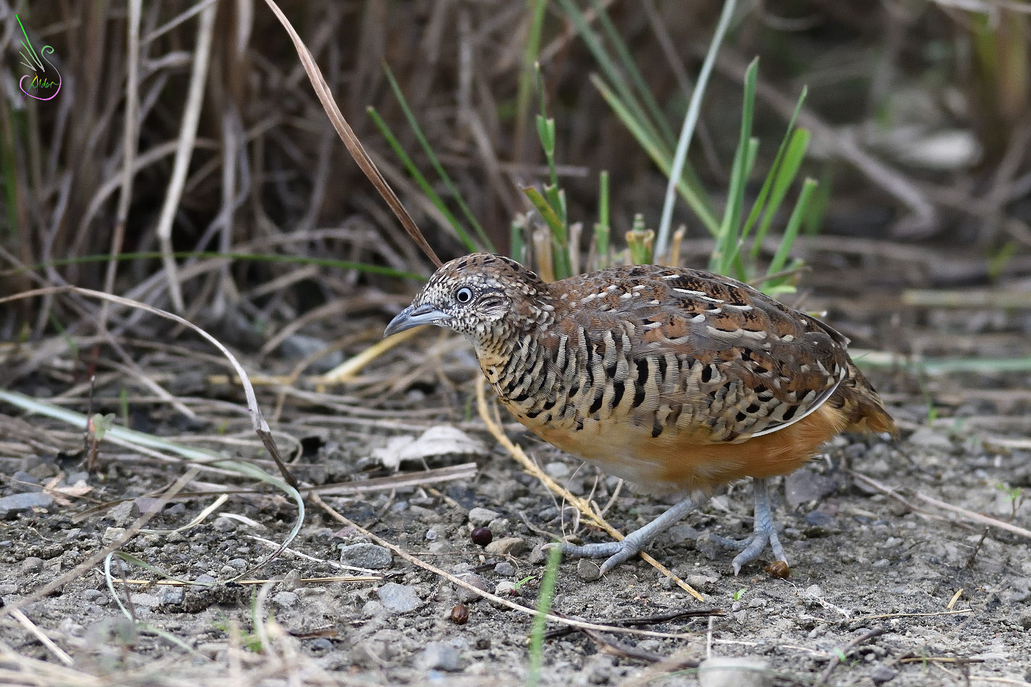Barred_Buttonquail_1803