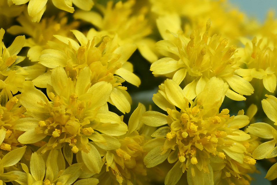 Yellow statice flowers 2 yellow statice flowers in some c flickr yellow statice flowers 2 by lord v mightylinksfo