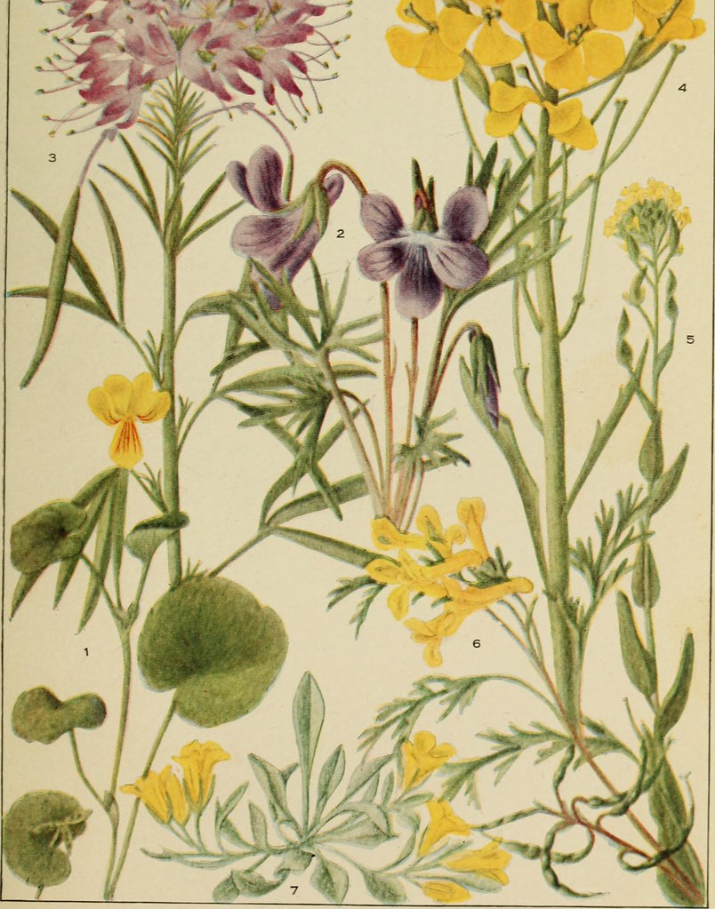 Image From Page 56 Of Rocky Mountain Flowers An Illustr Flickr