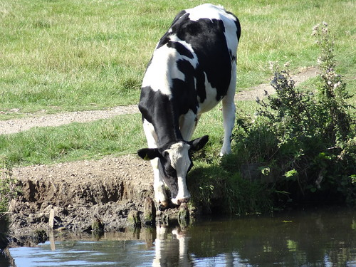 COW DRINKING | by JOHN K THORNE FILMS