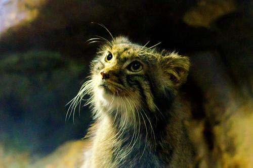Pallas's Cat of Ueno Zoo : マヌルネコ(上野動物園)