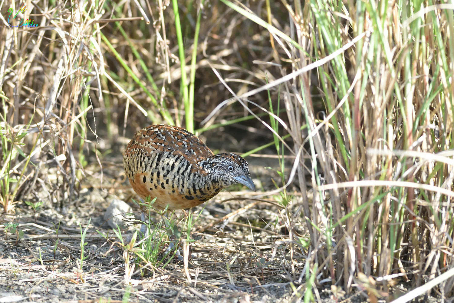 Barred_Buttonquail_2588