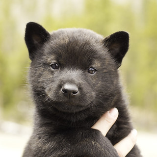 Ayui-Litter4-Day30-Puppy5-Male-a | by brada1878